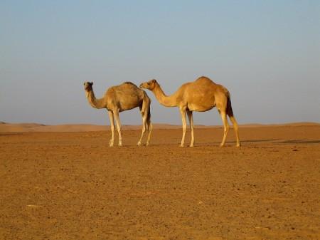 43 Kamele in der östlichen Wüste (Wahiba)